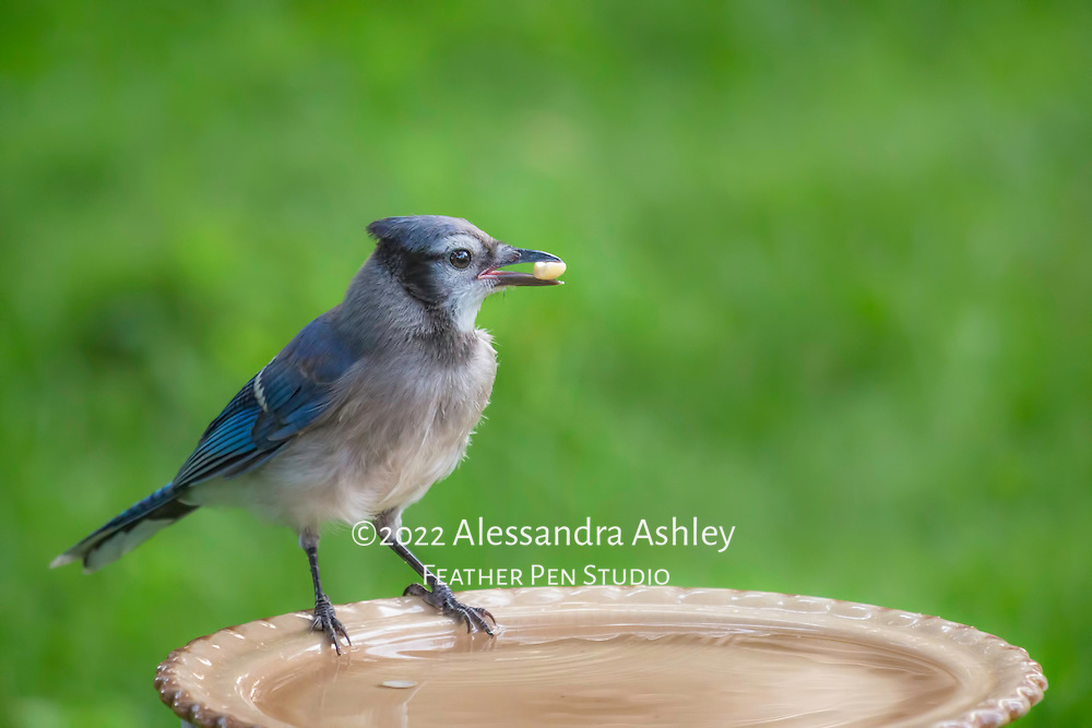 Juvenile blue jay perching on birdbath with a peanut in its bill, and another dunked in the water.