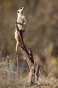 A Meerkat on sentinel duty keeps watch for aerial predators.