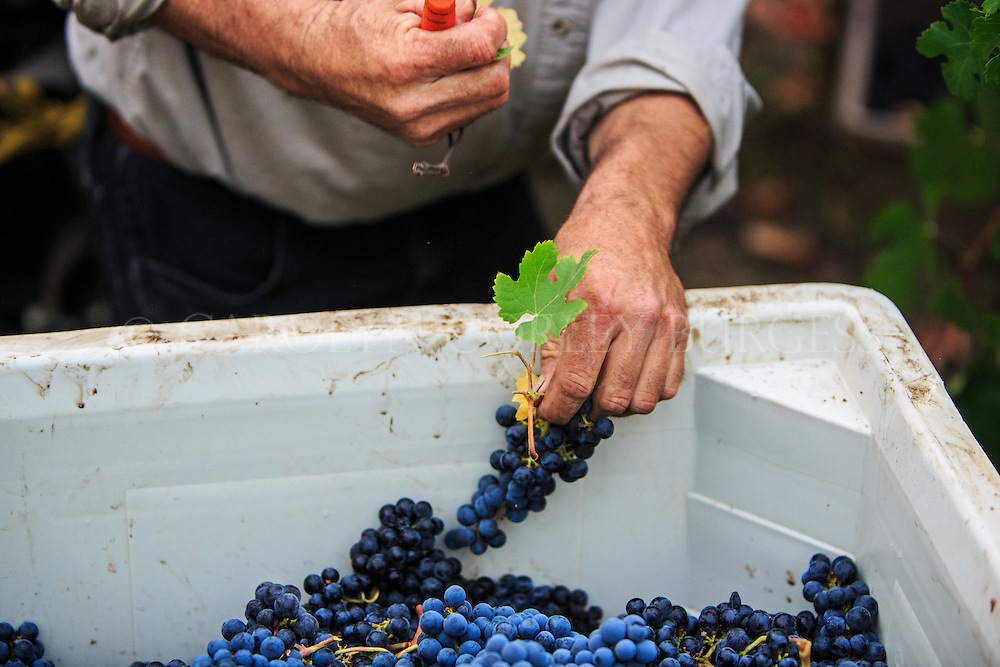 vineyard worker pulling leaves from freshly harvested merlot grapes at Swanson Vineyards in Oakville, California.