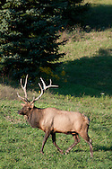 Male elk with large antlers walking out in front of a tree in PA.