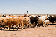 08 MAY 2004 -- WILLIAMS, AZ: Cowboys work cattle in a corral  on the Willaha Ranch, north of Williams, AZ, May 8, 2004. The ranch is in the high desert country near the south rim of the Grand Canyon. The ranch is in the high desert country near the south rim of the Grand Canyon. Arizona ranchers are in the midst of a ten year draught that has dramatically reduced the size of their herds. At the same time, public consumption of beef has soared because of the popularity of the Atkins and other high protein diets, so while prices are up, herd yields are down because of the drought.  PHOTO BY JACK KURTZ