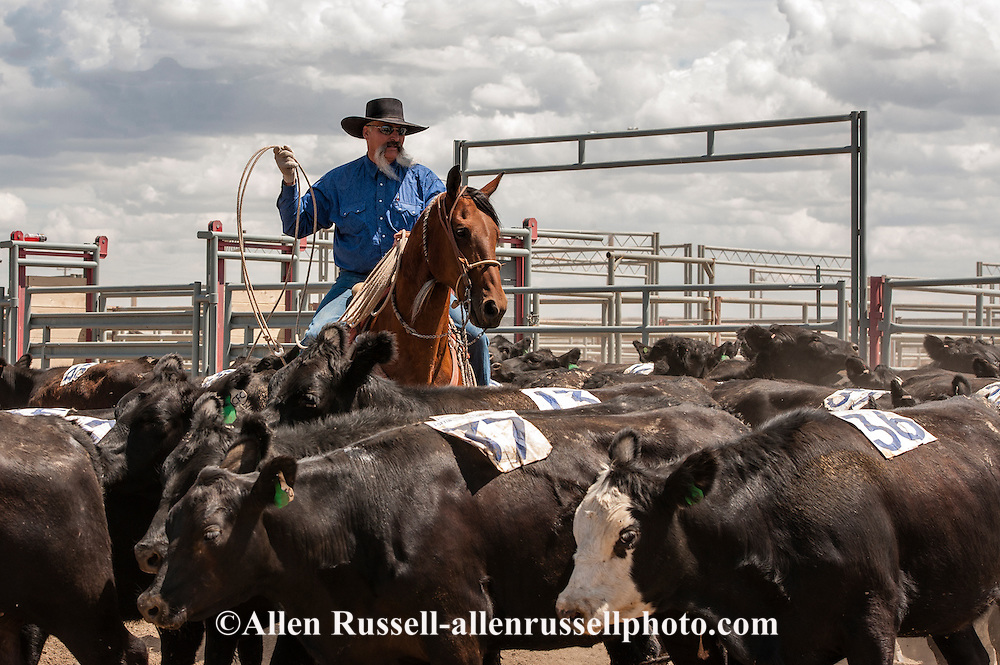 Will James Roundup, Ranch Rodeo, Yearling Doctoring, Dwight Hill, Hardin, Montana, MODEL RELEASED, PROPERTY RELEASED rider & horse.