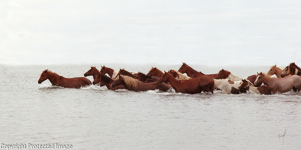 Chincoteague Pony Swim from Assateague Island