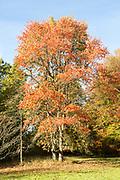 Tupelo tree, Nyssa syvatica, black gumtree National arboretum, Westonbirt arboretum, Gloucestershire, England, UK