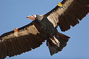 A detail of a California Condor (Gymnogyps californianus) in the sky above the Big Sur coast, California.