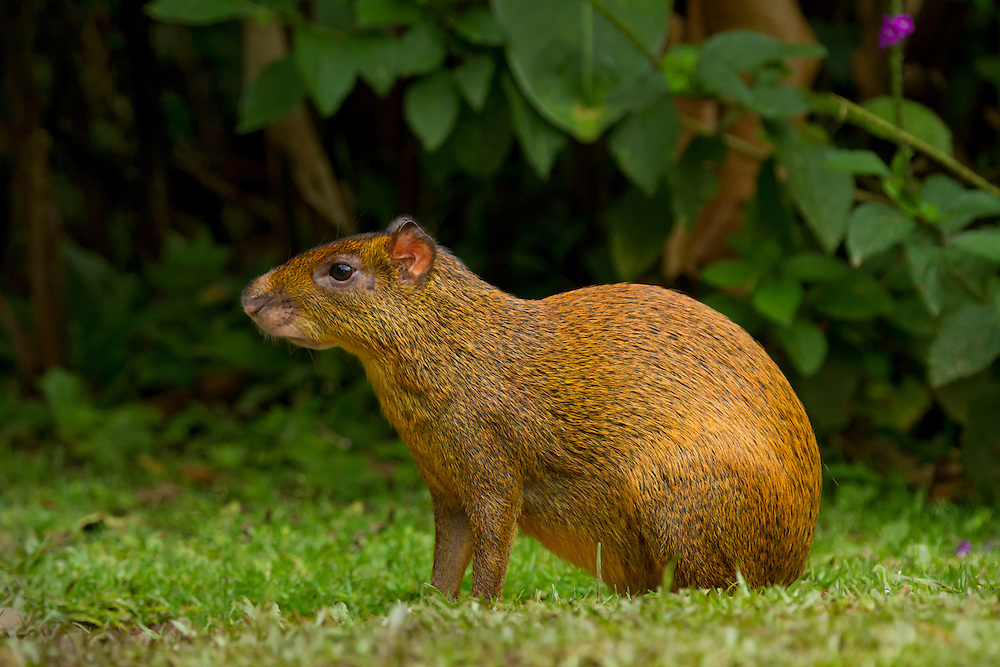 Central American agouti (Dasyprocta punctata) at the edge of the rainforest at Bosque de Paz Private Ecological Reserve, Costa Rica