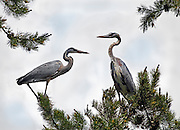 Idaho, east, Great Blue Herons in the Caribou Mountains