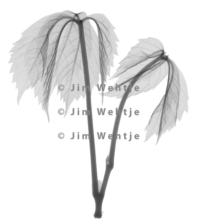 X-ray image of a baby Virginia creeper (Parthenocissus quinquefolia, black on white) by Jim Wehtje, specialist in x-ray art and design images.