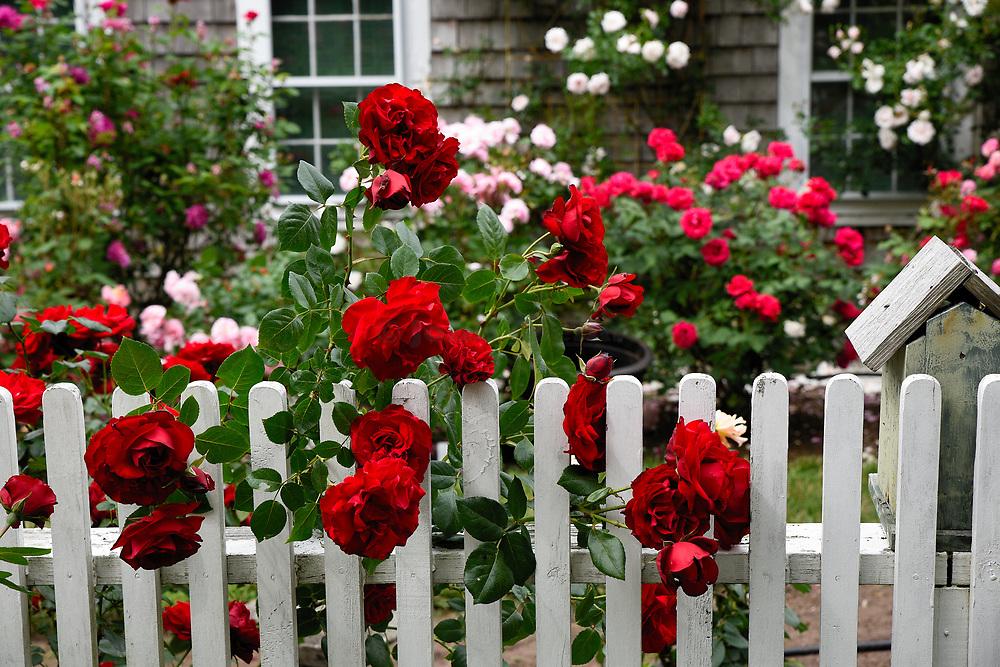 Charming New England rose garden, cape Cod, Massachusetts, USA.