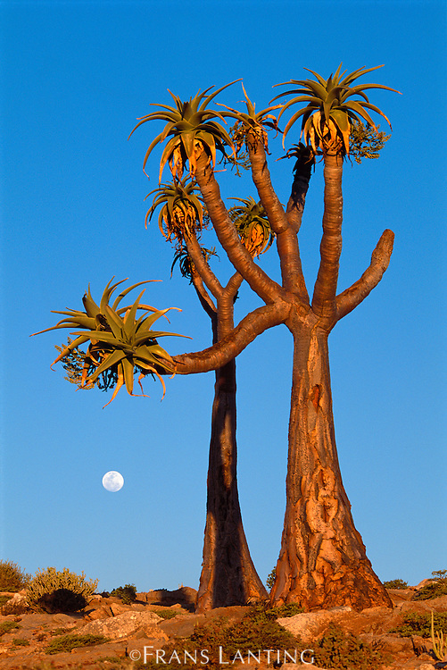 Moon rising behind giant tree aloes, Aloe pillansii, Richtersveld National Park, South Africa