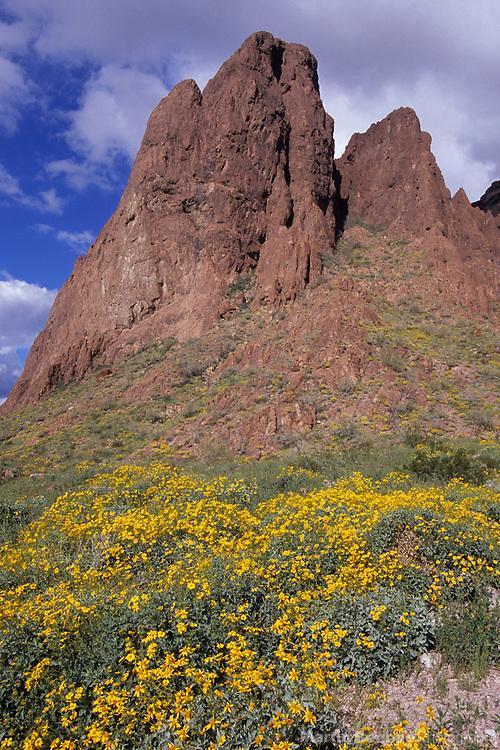 Brittlebush (Encelia farinosa) and cliffs, Kofa National Wildlife Refuge, Arizona