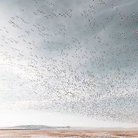 snow geese fill the sky over freezeout lake, wildlife managment area, spring waterfowl migration