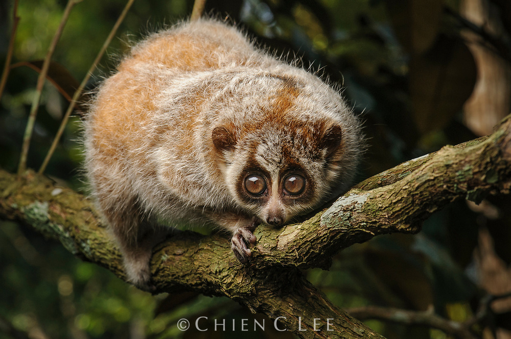 With an adult size usually under 405g, the Pygmy Slow Loris (Nycticebus pygmaeus) is the smallest of all lorises. It is strictly nocturnal and survives on a diet of insects and fruit. Cuc Phuong National Park, Vietnam.