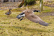 Canada Goose - Branta canadensis flying with its mouth open.  Having just taken off from the grass