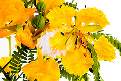 Yellow Poinciana#24