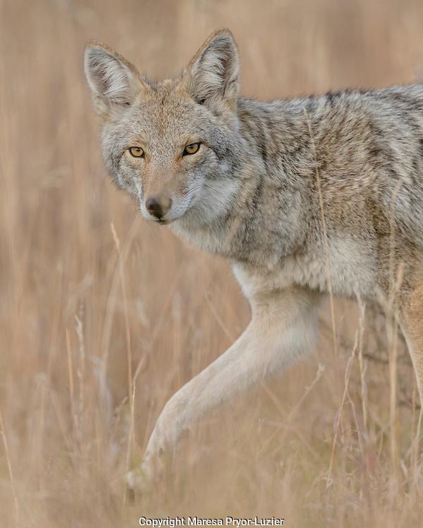 Mountain Coyote, Canis latrans lestes, Grand Teton NP, Wyoming