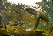 Dolly Varden<br />