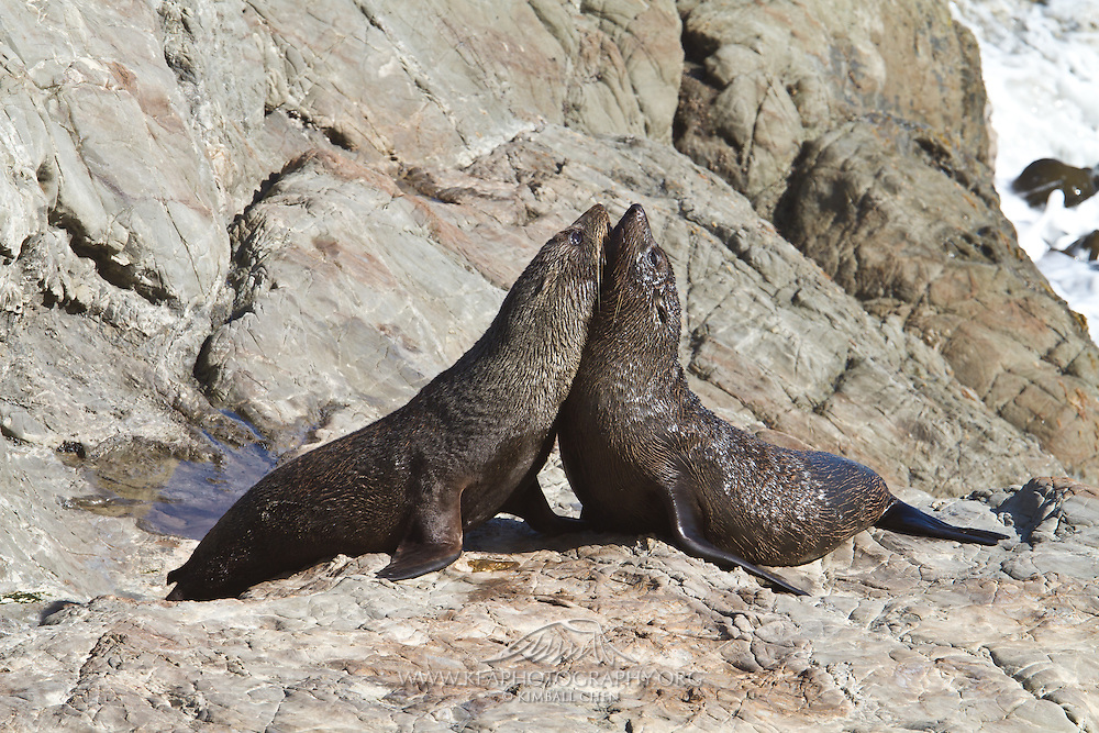 A pair of juvenile New Zealand Fur Seals playfully size each other up at Stewart Island.