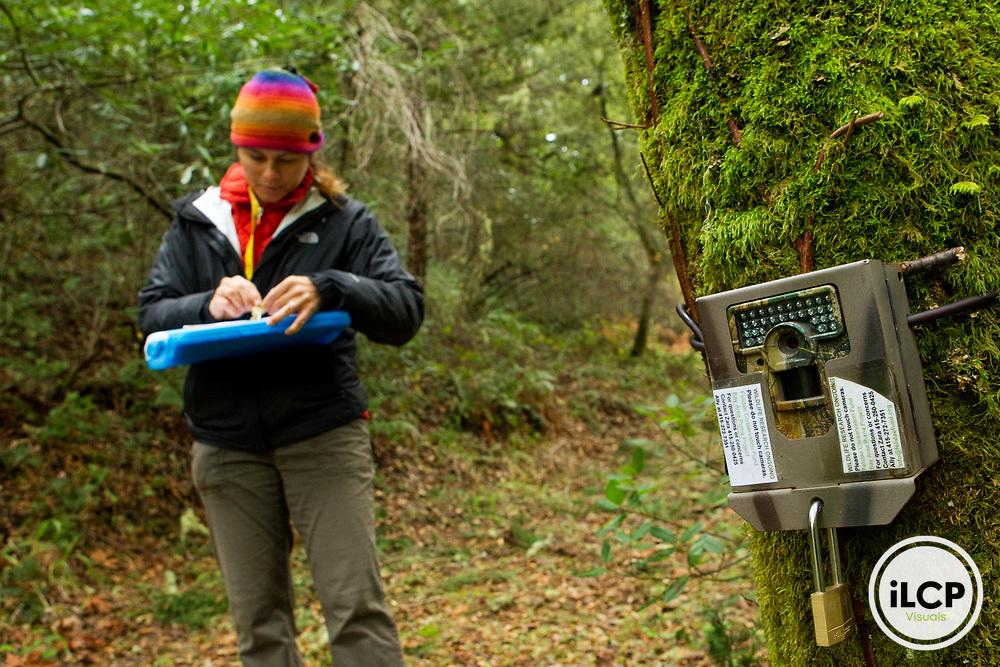 North American Cougar (Puma concolor couguar) biologist Patty Ten Boom Byrnes entering camera trap data, Sweeney Ridge, Bay Area, California