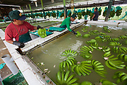 Organic Fairtrade bananas float in a tank to wash out latex from the stalks in one of several processing plants at Fairtrade-certified banana producers APPBOSA in Samán, Marcavelica, Piura, Peru.