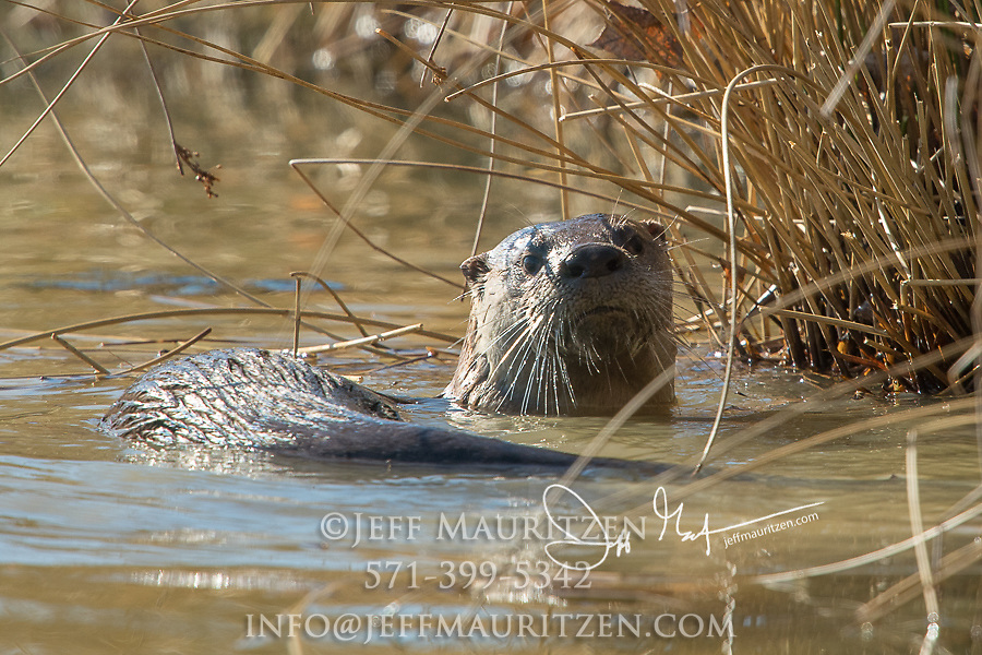 A North American river otter forages for food in a wetland pond.