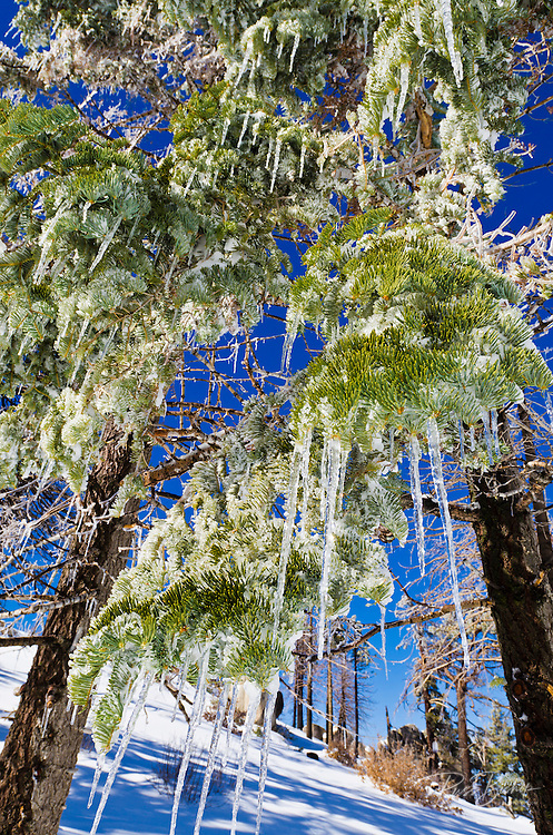 Icicles hanging from pine tree, San Bernardino National Forest, California