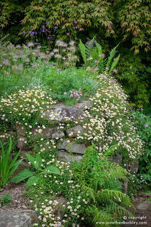 Wall at Glebe Cottage with seedheads of Pulsatilla vulgaris and Erigeron karvinskianus - Mexican daisy, Mexican fleabane