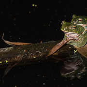 Giant Flying Frog (Rhacophorus maximus) amplexus in situ in Kaeng Krachan national park, Thailand