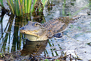 American Alligator-Savannah, GA