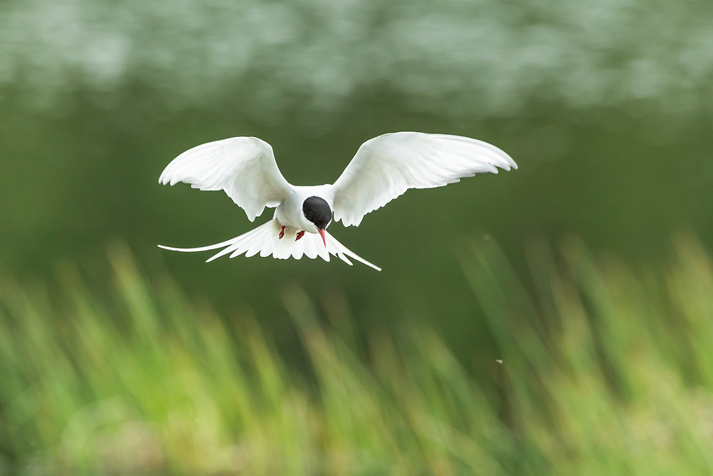 Arctic Tern (Sterna paradisaea) flying at Potter Marsh in Southcentral Alaska. Spring. Morning.