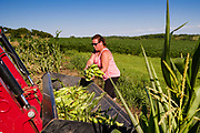 27 JULY 2020 - CARLISLE, IOWA: AMY RODGERS puts gleaned sweet corn into the bucket on a tractor on the Butcher Creek Farm in Carlisle. Volunteers from Eat Greater DSM gleaned sweet corn in the fields on the farm. The corn was packaged and will be distributed to Des Moines emergency pantries, community centers, and churches this week. Gleaning is the act of collecting leftover crops from farmers' fields after they have been commercially harvested or gathering crops from fields where it is not economically profitable to harvest. It is an ancient tradition first described in the Hebrew Bible. A spokesperson for Eat Greater DSM said food assistance need has skyrocketed this year. In a normal year, they distribute about 300,000 pounds of food. Since the start of the COVID-19 pandemic in March, they've distributed more than 500,000 pounds of food.       PHOTO BY JACK KURTZ