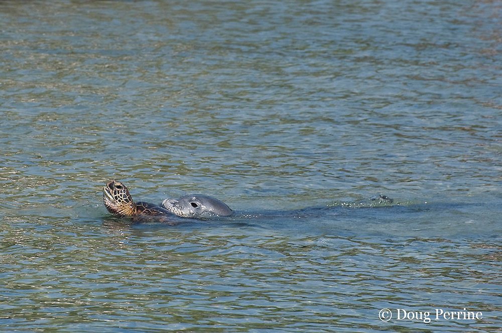 Hawaiian monk seal, Monachus schauinslandi ( Critically Endangered ), 2.5 year old male plays with a green sea turtle, Chelonia mydas ( Threatened ); the turtle is in danger of drowning during the harassment; Pu'uhonua o Honaunau ( City of Refuge ) National Historical Park, Kona, Hawaii ( the Big Island )