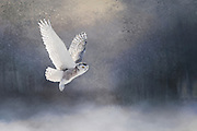 Snowy Owl gliding through a dreamy forest.<br />