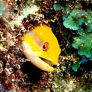 Wrasse Blenny often rest in holes with head protruding in Florida, Bahamas and western Caribbean; picture taken Grand Cayman.