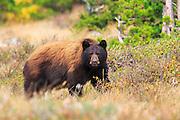 Black Bear, Glacier National Park.