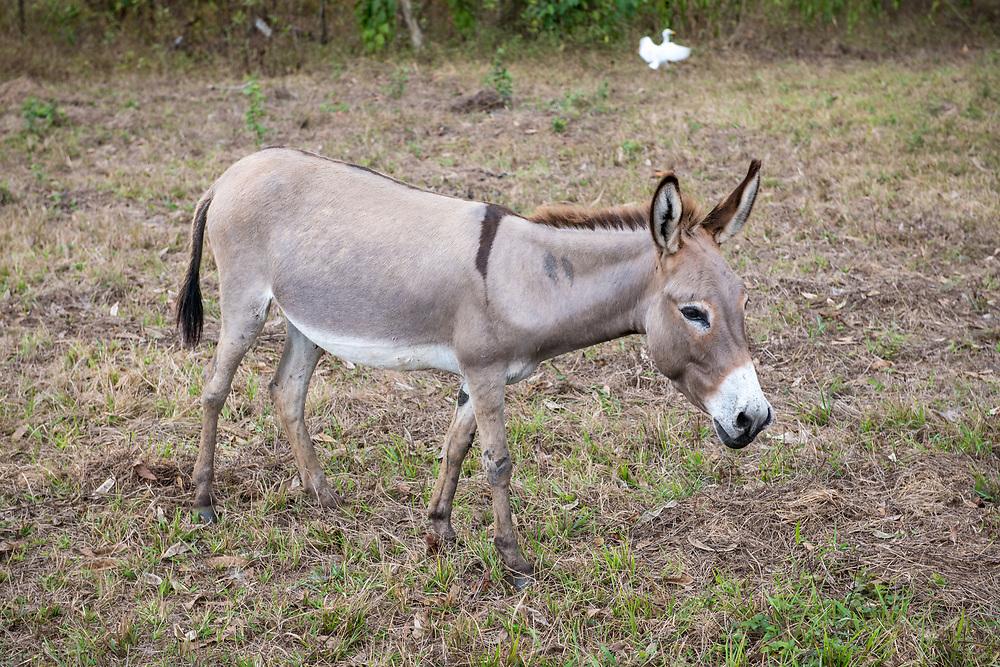 A donkey (Equus asinus) grazes on a farm in Ganta, Liberia