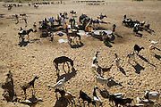 Wadis in the central part of Chad are dry nine months of the year. During that time, villagers must dig down to the water, shoring up the wells with millet stalks to keep them from collapsing. In the morning, the wadis are furiously active. One after another, teams of two or three girls fill the pools as wave after wave of animals come to drink. It's hard work: the water rapidly evaporates, sinks into the sand, and vanishes down the animals, and the girls have to keep refilling the pools. Hungry Planet: What the World Eats (p. 71).