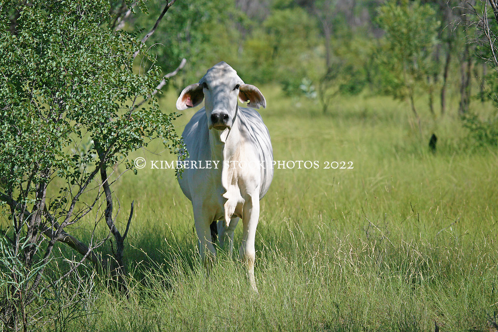 A young Brahman beside the road from Broome to Derby.