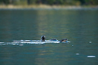 Image of otters playing in Chilko Lake, BC, Canada.