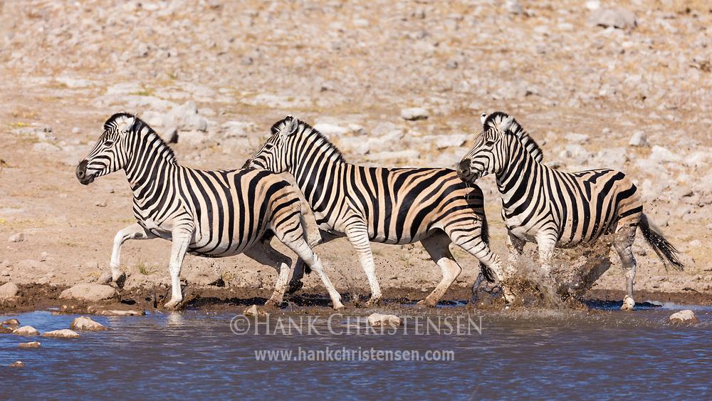 Three plains zebra run through the shallow water at the edge of a waterhole, Etosha National Park, Namibia.