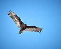 Turkey Vulture in flight. Image taken with a Nikon D2xs camera and 80-400 mm VR lens (ISO 100, 400 mm, f/9, 1/320 sec).