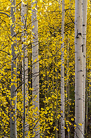 A forest of golen aspen trees in Utah's American Fork Canyon create a beautiful fine art photograph.