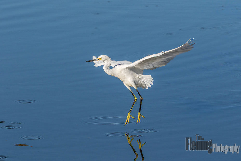 Snowy egret landing in the Ellis Creek Water Recycling Facility, Petaluma, California