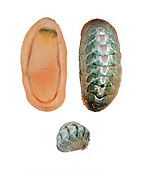 Conspicuous Chiton (Stenoplax conspicua)<br />