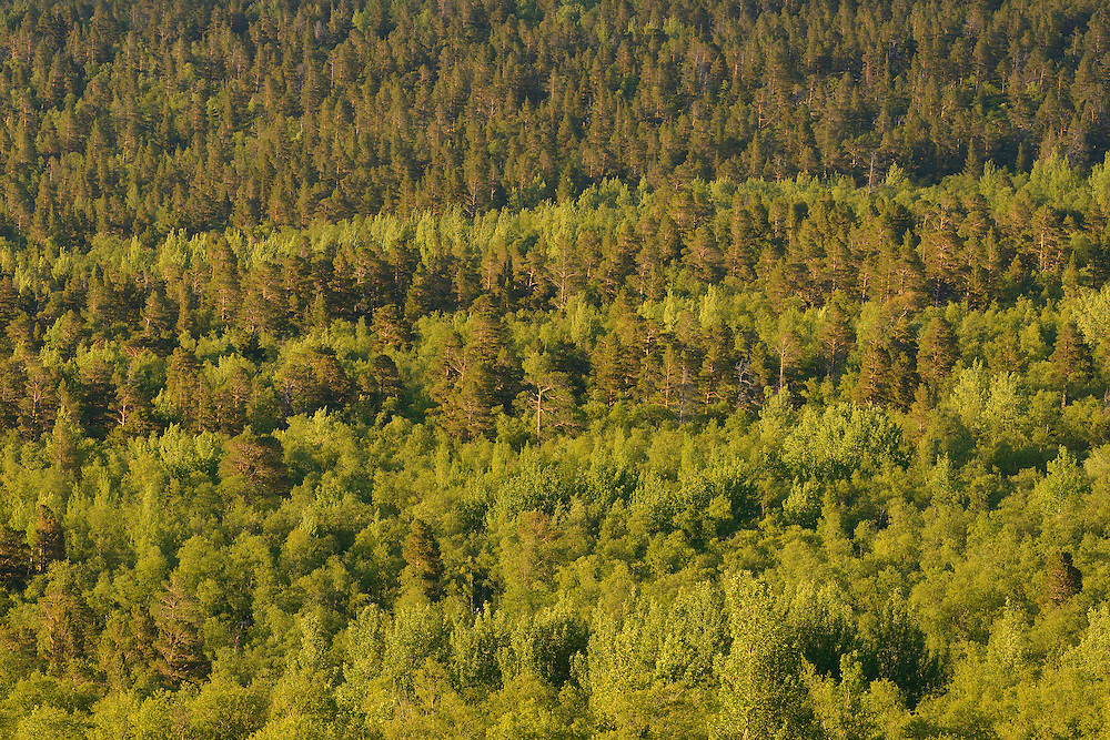 Taiga forest, with Scots pine (Pinus silvestris), aspen (Populus tremulus) and mountain birch, (Betula pubescens tortuosa) Saltoluokta area, bordering to the Stora Sjöfallet National Park, Greater Laponia rewilding area, Lapland, Norrbotten, Sweden
