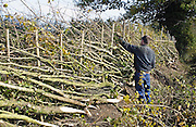 Hedger working on traditionally cut and laid hedge in Gloucestershire, United Kingdom.