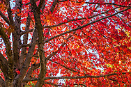 Red Maple Tree in Autumn, British Columbia Canada