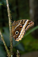 The Caligo (Owl) Butterfly, Caligo atreus, uses eyespots to confuse predators; Costa Rica