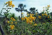 Savanna (cerrado) biome, Brazilian  Highlands, Goiás State, Brazil: Senna corifolia var. caesia (family Leguminosae - Fabaceae) at ecotone (transition) between vegetation on rock outcrop and vereda (seasonally waterlogged treeless grassland).