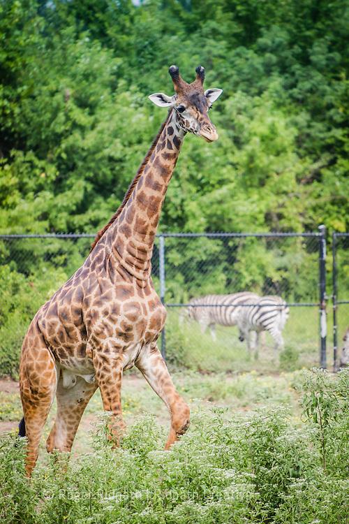 Masai Giraffe walking at Kansas City Zoo